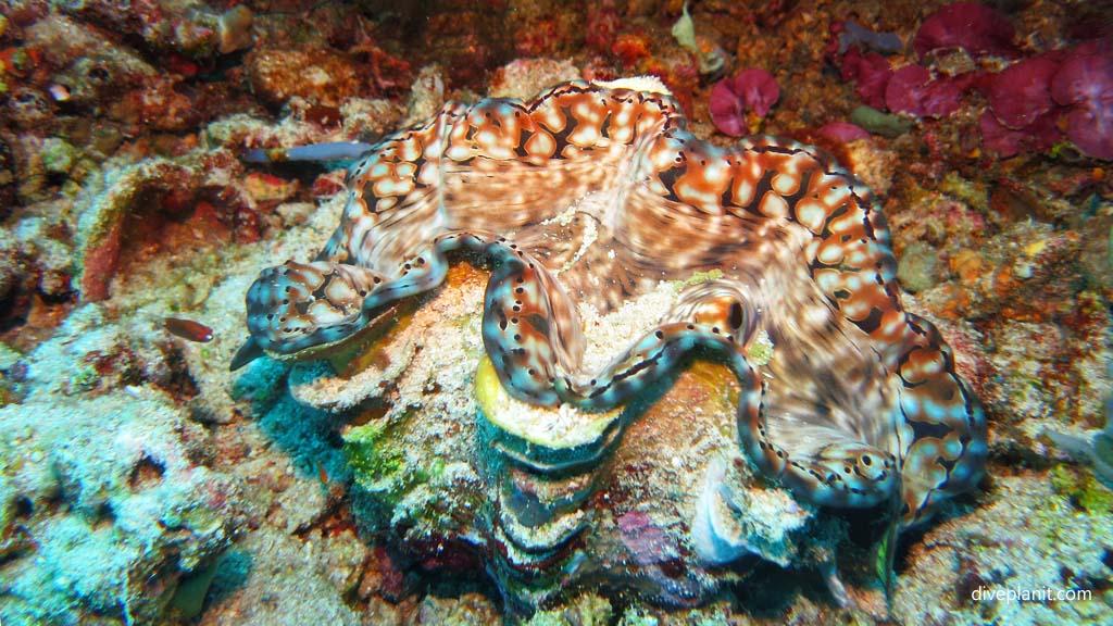 9432-Giant-clam-diving-Pos-1-Menjangan-Bali-Indonesia-Diveplanit-9432