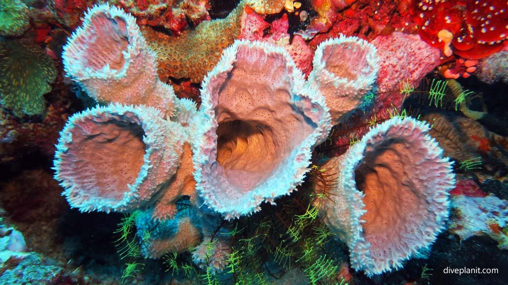 9416-Prickly-sponge-coral-diving-Pos-1-Menjangan-Bali-Indonesia-Diveplanit-9416