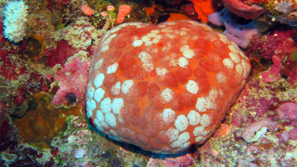 9426-Cushion-seastar-diving-Pos-1-Menjangan-Bali-Indonesia-Diveplanit-9426
