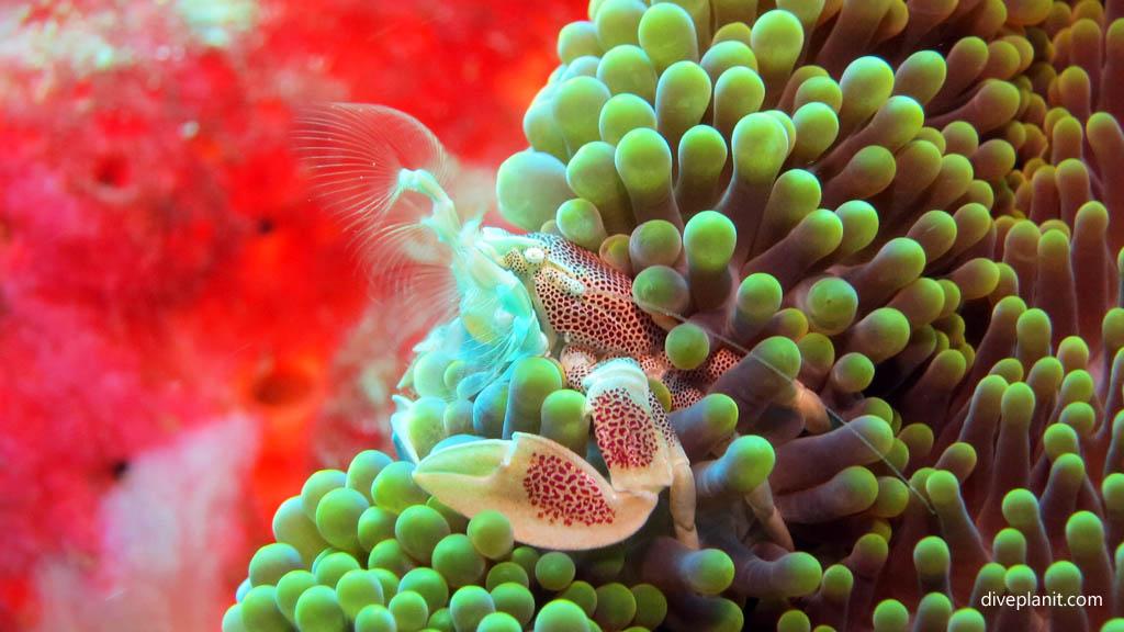 9442-Porcelain-crab-diving-Pos-1-Menjangan-Bali-Indonesia-Diveplanit-9442