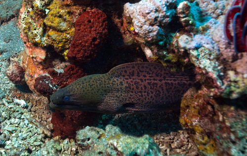 Amed-Dive-Center-Mrey-Eel-Emerald