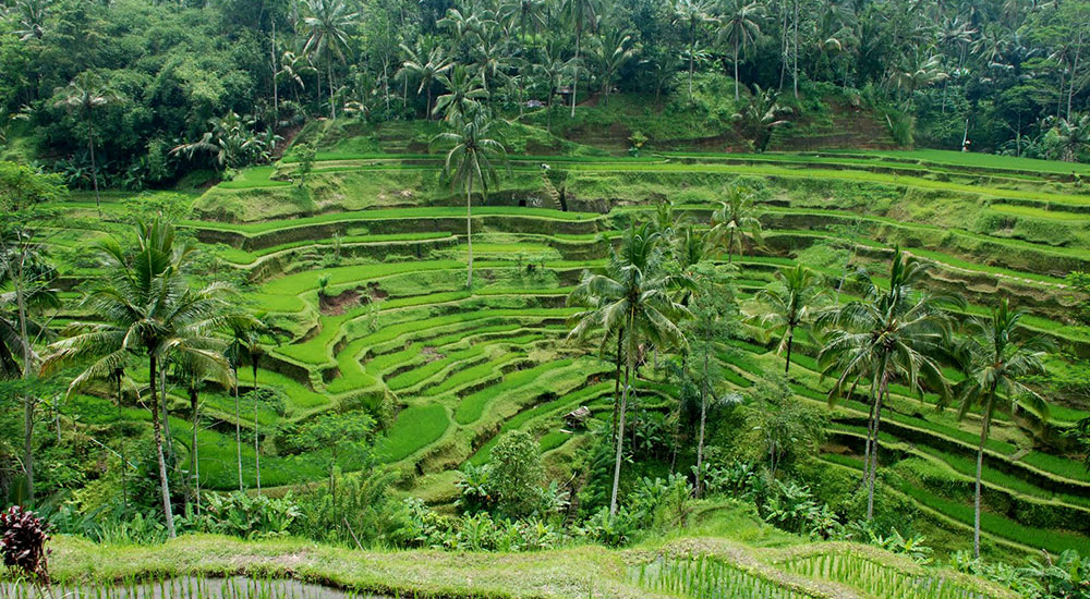 Pacung-Rice-Terrace-1